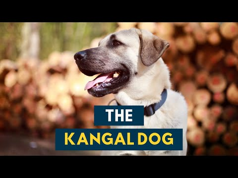 Kangal Dog: Everything About This Formidable Guardian Dog