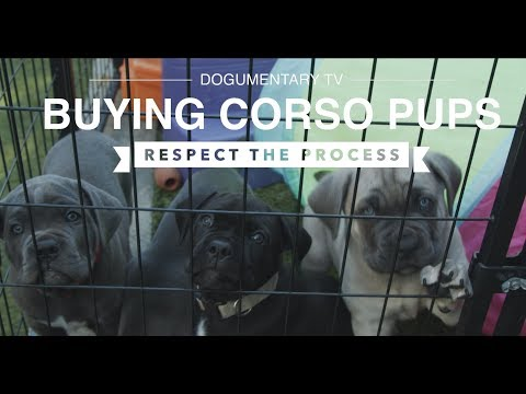 CUTE CANE CORSO PUPS: RESPECT THE BUYING PROCESS