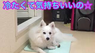 Japanesespitz Lemon  <ひんやり気持ちいい> わたちレモン  白もふ 白...