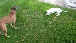 dogo argentino  TANGO  de 2 meses  jugando con TUKI