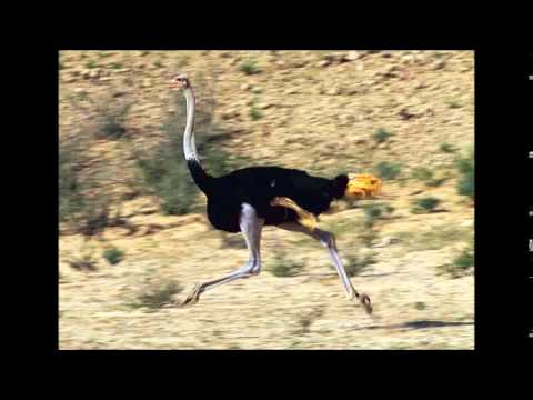 Daydreamin (The Ostrich Song)- By Austin Roberts