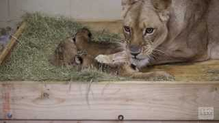 First Look at the African Lion Cubs