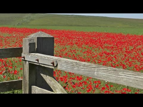 Bird Song & Nature Sounds - Skylark Birds Singing & Poppy Fields Relaxation
