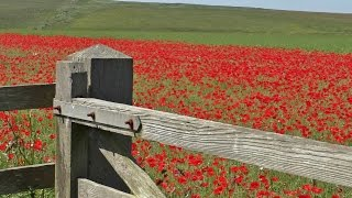 Relaxing Bird Song & Nature Sounds - Skylark Birds Singing & Poppy Fields Relaxation