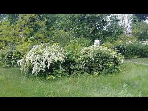 Куст цветущий с белыми цветами, кто знает как он назывется
