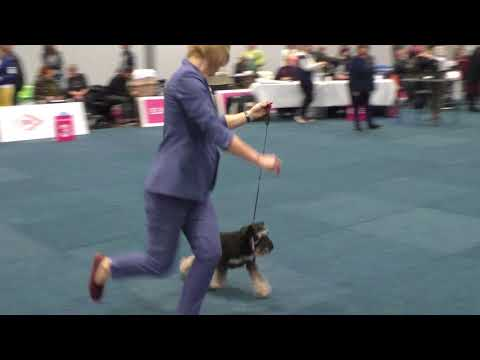 World Dog Show 2017.Miniature Schnauzer. Male Champion