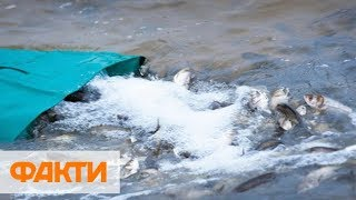В Южный Буг на Николаевщине выпустили 1 5 млн мальков растительноядных рыб