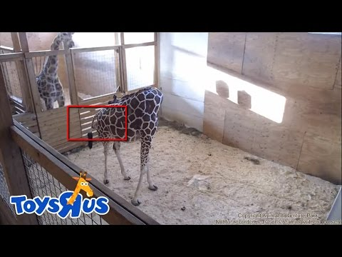 ► Live Feed : Animal Adventure Park - April The Giraffe Giving Birth Morning 04/15/2017