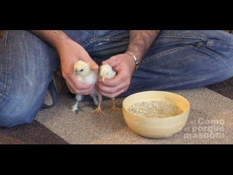 GALLINAS - El mejor pienso ecológico para gallinas