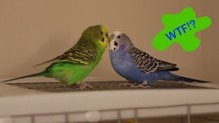 Crazy Talking Parakeets Play Atop The Cage!
