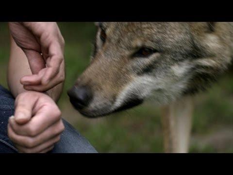Kussen met de wolf wild van dieren vtm youtube