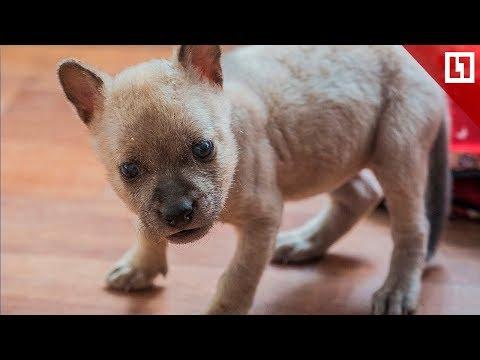Новорожденный красный волчонок