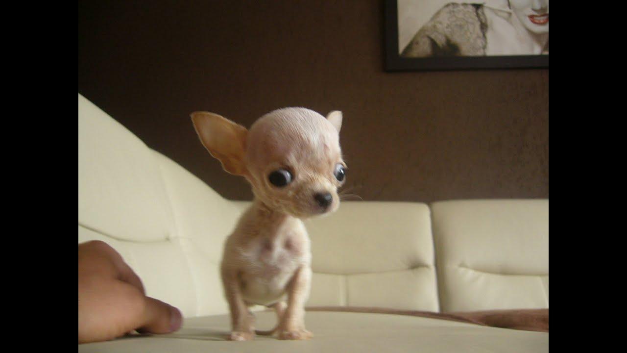 Micro Tiny Teacup Chihuahua Ballerina
