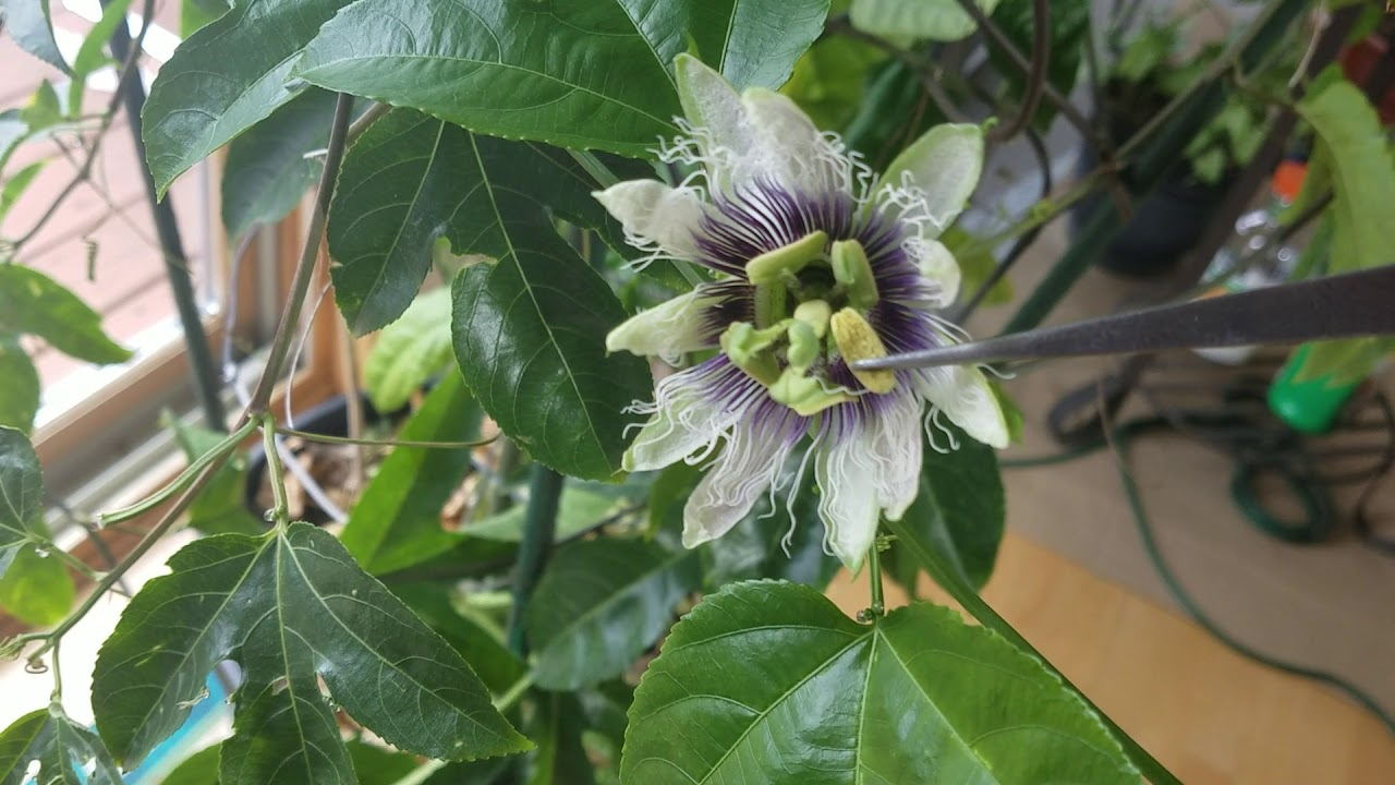 How To Pollinate Passion Flower In Snowy March Mn Indoors Youtube