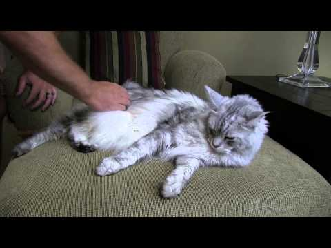 How to Brush a Cat - BIG Maine Coon Cat