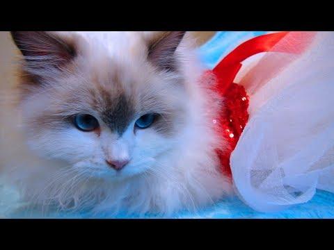 Ragdoll Kitten Rosey's 5th Vlog! I Turn 7 Months Old!
