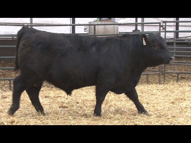 Schiefelbein Angus Farms Lot 182
