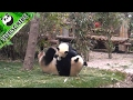 Sloppy panda mom gives her kid an overarm throw