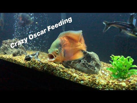 Insane Oscar Feeding (LIVE FROGS, CRAYFISH, FEEDERS)