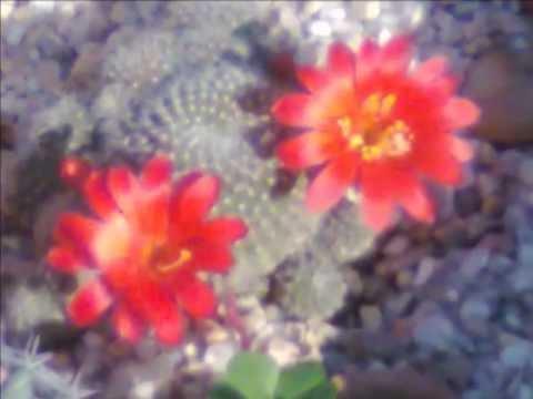 Los cactus con flores viveros plantas crasas y suculentas for Matas de viveros