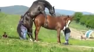 Жеребец _ спаривается с лошадью