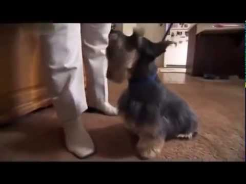 DOGS 101   Silky Terrier ENG