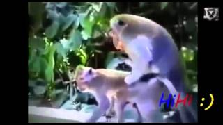 Спаривание животных, Monkey Chimpanzee Gorilla Mating Funny Videos Compilation 2