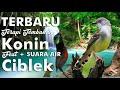 Masteran Burung Kolibri Kombinasi Ciblek Bagus Buat Masteran  Mp3 - Mp4 Download