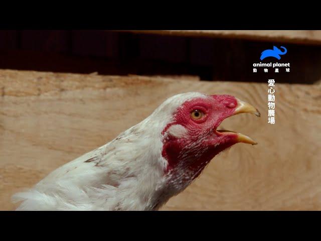 【憤怒雞管訓班】鬥雞鬥雞別生氣,明天帶你去拍戲|動物星球頻道