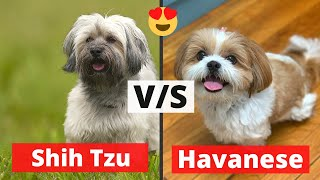 Havanese v/s Shih Tzu: Which Dog Breed would be Best for you?