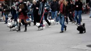 Scottish and West Highland Terriers march in the Tartan Day Parade.