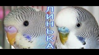 Линька у волнистых попугаев // волнистые попугаи