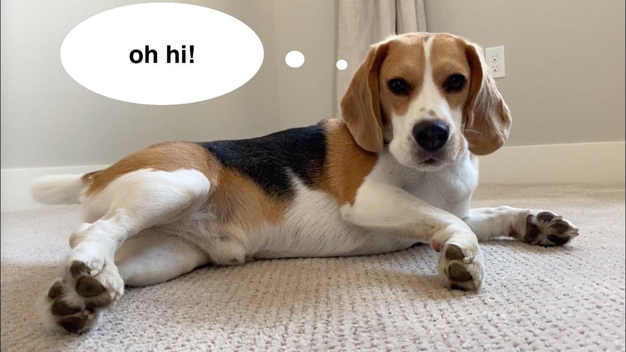 Cute beagle reviews new carpet