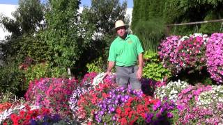 Trailing Petunias: Part 2