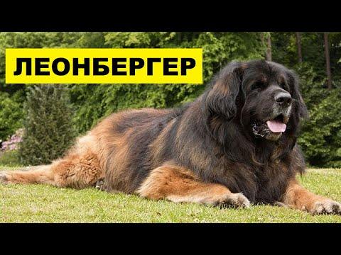 Собака Леонбергер описание плюсы и минусы породы | Собаководство | Порода собак Леонбергер