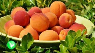 Абрикос ВСЕ лечит, или… наоборот? Польза и вред абрикосов для здоровья человека.