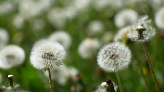 Dandelions Stock Video