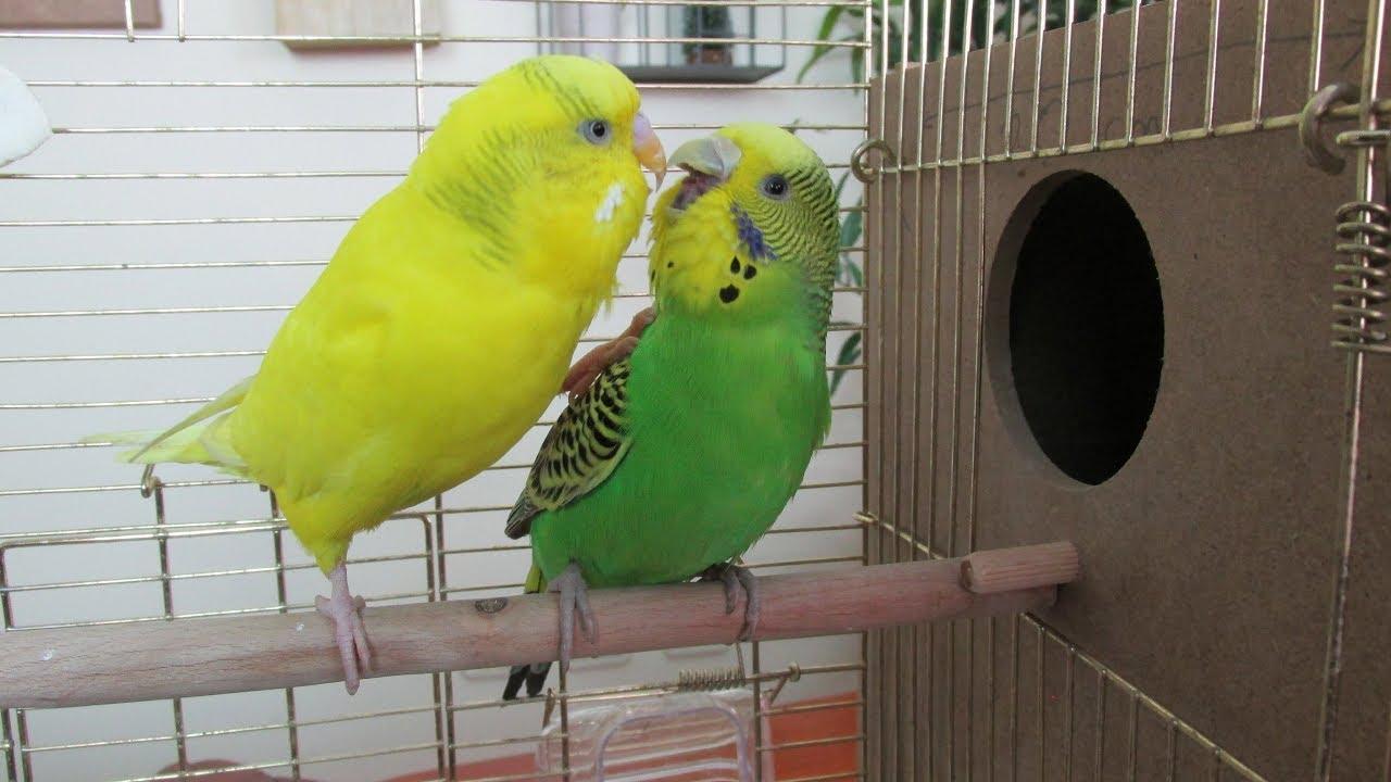 Çiftleşirken Konuşan muhabbet kuşu, muhabbet kuşu nasıl çiftleşir ?