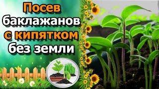 🍆РЕЗУЛЬТАТ посева баклажанов в кипяток без земли. СУПЕР СПОСОБ!(Я покажу результат посева семян баклажан в кипяток без использования грунта (безземельный способ). А так..., 2017-01-24T05:00:00.000Z)