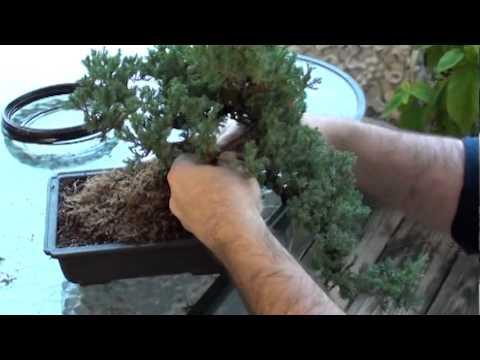 wiring a juniper bonsai dallasbonsai com youtube rh youtube com Bonsai Copper Wire Bonsai Silhouette