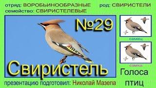 Свиристель. Голоса птиц