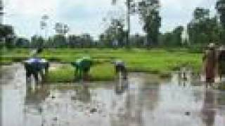 Growing Rice in Thailand using Mulch
