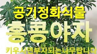 홍콩야자 키우기 공기정화에 아주좋은식물입니다♡