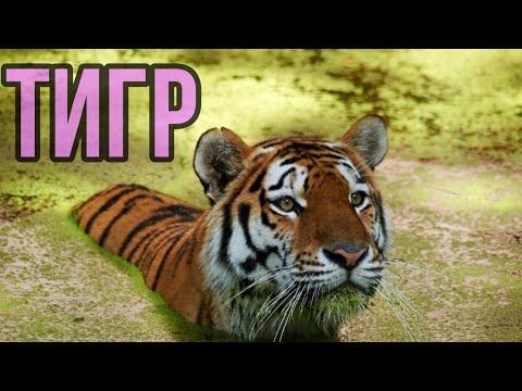 Вопрос: Какие существуют малоизвестные интересные факты о тиграх?