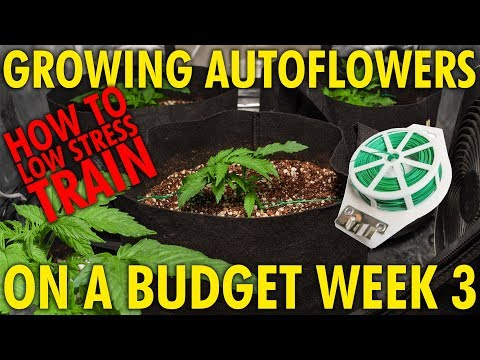 How to Train Autoflowers For Bigger Yields – White Widow Budget Grow Week 3
