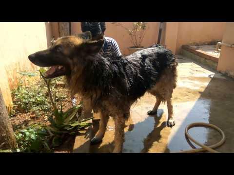 Bathing German Shepherd dog