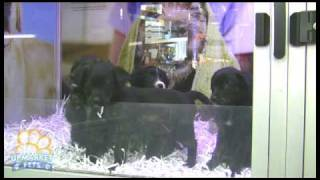 Golden Retreiver X Border Collie Puppies