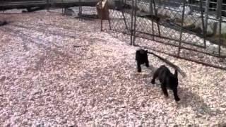 フレンチブルドッグ子犬生後56日目の動画です。みんな元気に走り回ります。