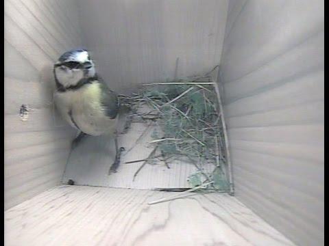 Blue Tit Nest Building Side View Nest Box 15th April 2016