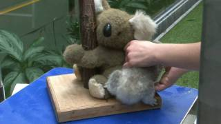 Repeat youtube video WM Auftaktspiel Zoo Duisburg, Koala-Baby,